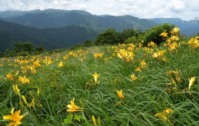 ニッコウキスゲ花